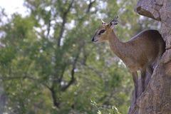 Klipspringer (oreotragus Oreotragus) Стоковые Фото