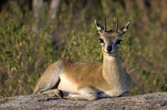 Klipspringer [Oreotragus oreotragus] Zdjęcia Royalty Free