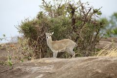 Klipspringer (Oreotragus oreotragus) Royalty Free Stock Photo