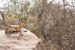 Klipspringer (Oreotragus oreotragus). Live in woodland and savannas with rocky areas (South Africa Royalty Free Stock Images