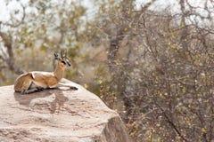 Klipspringer (Oreotragus oreotragus) Royalty Free Stock Images