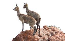 Klipspringer, Oreotragus oreotragus na skałach, Zdjęcia Royalty Free