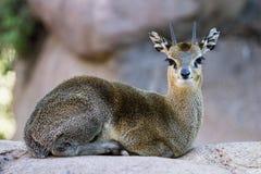 Klipspringer - Oreotragus oreotragus) Stock Image