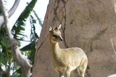 Klipspringer (Oreotragus oreotragusstevensoni) Stock Foto