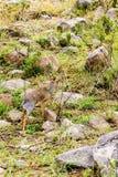 Klipspringer Oreotragus oreotragus w Serengeti Fotografia Stock