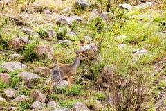 Klipspringer Oreotragus oreotragus w Serengeti Fotografia Royalty Free