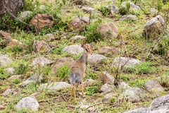 Klipspringer Oreotragus oreotragus w Serengeti Obraz Royalty Free