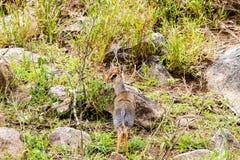 Klipspringer Oreotragus oreotragus w Serengeti Obraz Stock