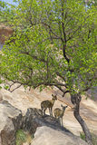 Klipspringer Pair Stock Images