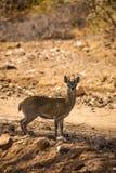 Klipspringer pozycja obok żwir drogi w sawannie Południowa Afryka, Mapungubwe park Fotografia Royalty Free
