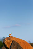 Klipspringer pozycja wyprostowywająca na głazie Zdjęcia Stock