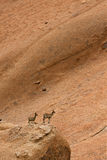 Klipspringer Stock Photography