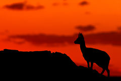 Klipspringer Silhouette Royalty Free Stock Photo
