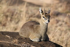 Klipspringer sitting on a rock royalty free stock images