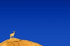 Klipspringer standing on a boulder in nature reserve Royalty Free Stock Images