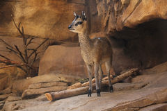 Klipspringer Standing on a Cliff Royalty Free Stock Image