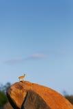 Klipspringer standing erected on a boulder Stock Photos