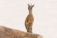 Klipspringer standing on mountain Stock Images