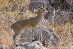 Klipspringer standing on a rock Stock Images