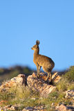 Klipspringer standing on skyline Royalty Free Stock Image