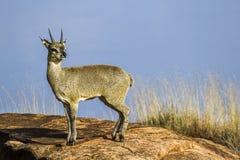 Klipspringer w Kruger parku narodowym, Południowa Afryka fotografia royalty free