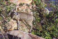Klipspringer w Kruger parku narodowym, Południowa Afryka Obrazy Stock