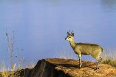 Klipspringer w Kruger parku narodowym, Południowa Afryka Zdjęcia Royalty Free