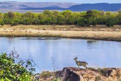 Klipspringer w Kruger parku narodowym, Południowa Afryka Zdjęcie Royalty Free