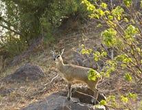 Klipspringer w krzaku, Kruger park narodowy, POŁUDNIOWA AFRYKA Obrazy Stock