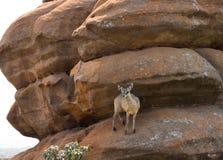 Klipspringerantilope het in evenwicht brengen op oranje rotsen Zuid-Afrika Stock Afbeeldingen