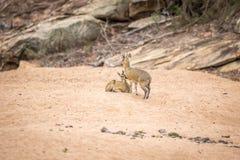 2 Klipspringers в песке в Kruger Стоковое Фото