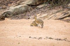 2 Klipspringers в песке в Kruger Стоковое Изображение RF