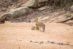 2 Klipspringers в песке в Kruger Стоковая Фотография RF