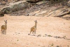 2 Klipspringers в песке в Kruger Стоковое Изображение