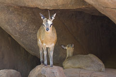 Klipspringers. Two Klipspringer animals, one standing, one sitting, in a zoo enclosure Stock Image