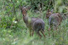 Klipspringers, Masai Mara, Kenya, África imagem de stock