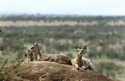 Klipspringers (Oreotragus oreotragus) Stock Images