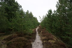 Klitplantage Husby Στοκ Φωτογραφίες