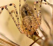 Källarespindel som äter en kranfluga Arkivfoton