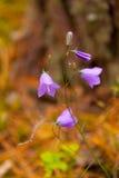 Klocka blomma eller klockblommaCloseup Royaltyfri Fotografi