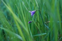 Klocka blomma i gräs Royaltyfri Fotografi