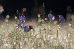 Klocka blomma med morgondagg Royaltyfria Foton