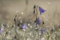 Klocka blomma med morgondagg Arkivfoton