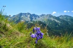 Klocka blomma på berget Arkivfoto