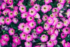 Klocka blommor - calibrachoa - i trädgård fotografering för bildbyråer
