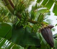 Klocka för bananträd blomma och frukt arkivfoto
