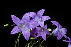 klockablommor Fotografering för Bildbyråer