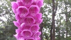 klockan blommar pink Arkivbilder