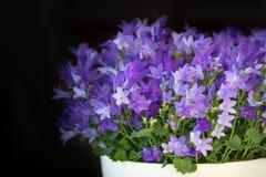 Klockblommaisophylla, blåklocka, dekorativa blommor i en kruka, mörk bakgrund Royaltyfri Foto