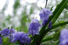 Klockor blommor royaltyfria bilder